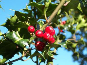 Holly (Ilex-aquifolium).